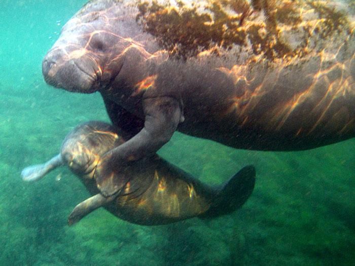 Mother Florida Manatee And Calf In Crystal River Florida